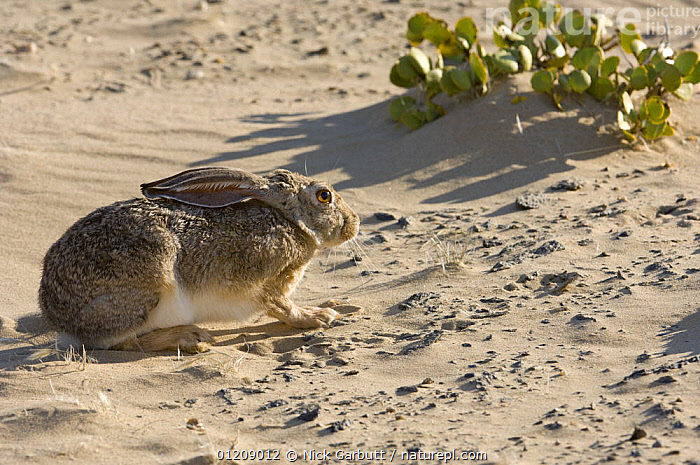 Cape Hare (Lepus capensis) crouched against strong wind. Skeleton Coast Park, Namibia.  ,  BEHAVIOUR,DESERTS,HARES,LAGOMORPHS,MAMMALS,NAMIBIA,SOUTHERN AFRICA,VERTEBRATES  ,  Nick Garbutt
