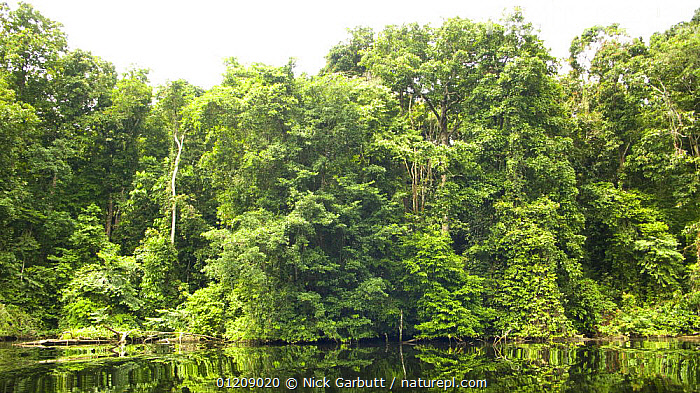 Nature Picture Library - Riverine forest  Loango National