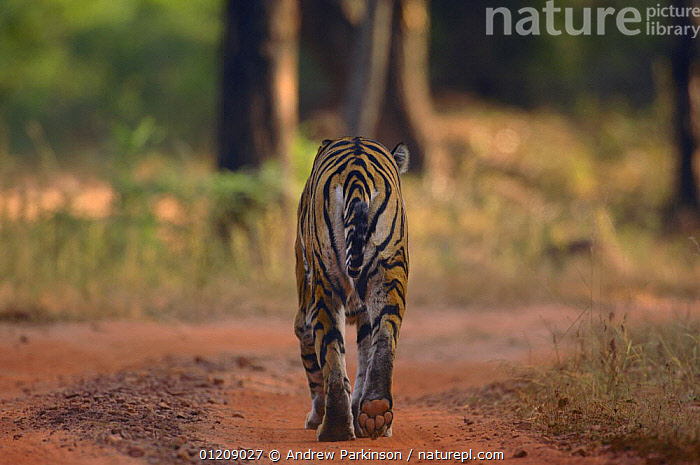 Bengal tiger (Panthera tigris tigris) rear view adult female walking along forest track. Bandhavgarh National Park, Madhya Pradesh, India.  ,  ASIA,BIG CATS,CARNIVORES,CENTRAL INDIA,ENDANGERED,FEMALES,INDIAN SUBCONTINENT,MAMMALS,NP,PAWS,RESERVE,ROADS,TIGERS,VERTICAL,National Park  ,  Andrew Parkinson
