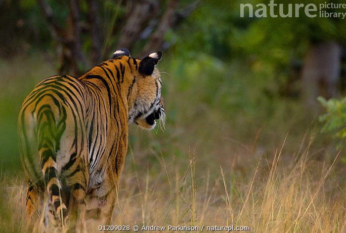 Bengal tiger (Panthera tigris tigris) a 24-month sub-adult watching for potential prey, rear view. Bandhavgarh National Park, Madhya Pradesh, India.  ,  ASIA,BIG CATS,CARNIVORES,CENTRAL INDIA,ENDANGERED,INDIAN SUBCONTINENT,JUVENILE,MAMMALS,NP,RESERVE,TIGERS,National Park  ,  Andrew Parkinson