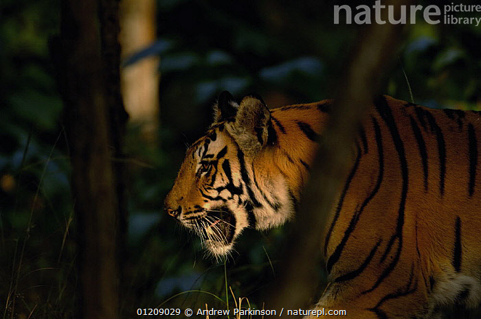 Bengal tiger (Panthera tigris tigris) sub-adult male walking through forest. Bandhavgarh National Park, Madhya Pradesh, India.  ,  ASIA,BIG CATS,CARNIVORES,CENTRAL INDIA,ENDANGERED,HEADS,INDIAN SUBCONTINENT,JUVENILE,MALES,MAMMALS,NP,PROFILE,RESERVE,TIGERS,National Park  ,  Andrew Parkinson