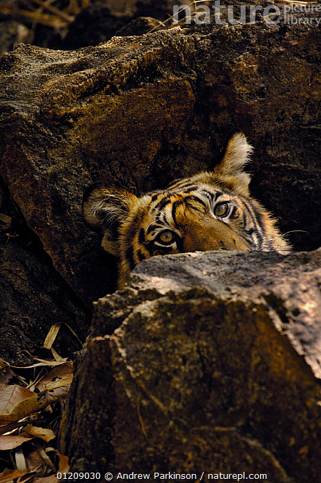Bengal tiger (Panthera tigris tigris) an 11-month cub lies partially concealed among some rocks. Bandhavgarh National Park, Madhya Pradesh, India.  ,  ASIA,BIG CATS,CARNIVORES,CENTRAL INDIA,ENDANGERED,FACES,HEADS,INDIAN SUBCONTINENT,MAMMALS,NP,RESERVE,ROCKS,TIGERS,VERTICAL,National Park  ,  Andrew Parkinson
