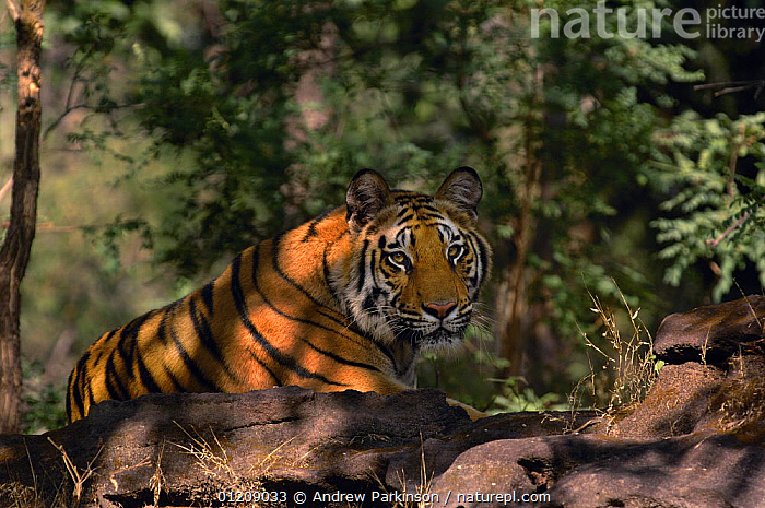 Bengal tiger (Panthera tigris tigris) a 19-month sub-adult relaxes in dappled light. Bandhavgarh National Park, Madhya Pradesh, India.  ,  ASIA,BIG CATS,CARNIVORES,CENTRAL INDIA,ENDANGERED,FOREST,INDIAN SUBCONTINENT,JUVENILE,MAMMALS,NP,RESERVE,TIGERS,National Park  ,  Andrew Parkinson