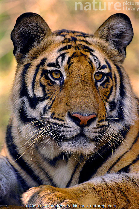 Bengal tiger (Panthera tigris tigris) portrait of a 19-month male. Bandhavgarh National Park, Madhya Pradesh, India.  ,  ASIA,BIG CATS,CARNIVORES,CENTRAL INDIA,ENDANGERED,FACES,HEADS,INDIAN SUBCONTINENT,JUVENILE,MALES,MAMMALS,NP,PORTRAITS,RESERVE,RESTING,TIGERS,VERTICAL,National Park  ,  Andrew Parkinson