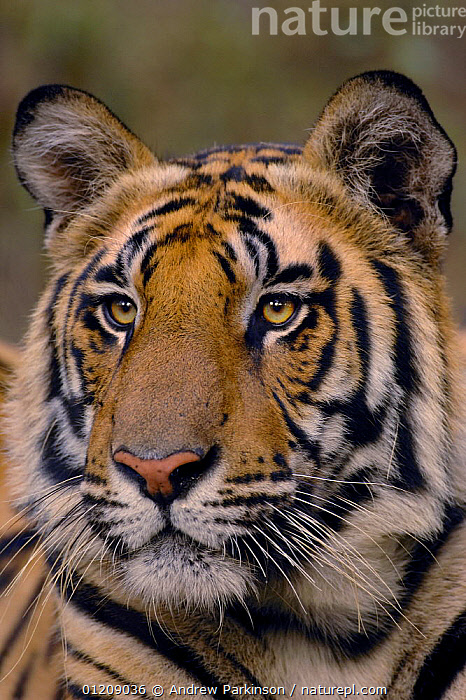 Bengal tiger (Panthera tigris tigris) portrait of a 19-month male. Bandhavgarh National Park, Madhya Pradesh, India.  ,  ASIA,BIG CATS,CARNIVORES,CENTRAL INDIA,ENDANGERED,FACES,HEADS,INDIAN SUBCONTINENT,JUVENILE,MALES,MAMMALS,NP,PORTRAITS,RESERVE,TIGERS,VERTICAL,National Park  ,  Andrew Parkinson