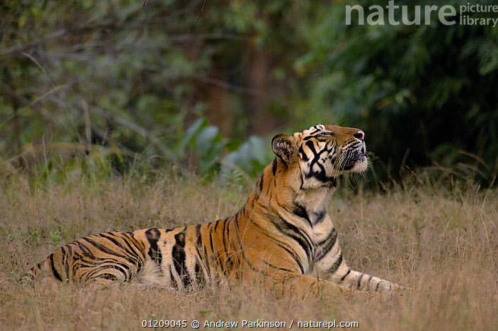 Bengal tiger (Panthera tigris tigris) a 24-month sub-adult male sniffing the air. Bandhavgarh National Park, Madhya Pradesh, India.  ,  ASIA,BIG CATS,CARNIVORES,CENTRAL INDIA,ENDANGERED,INDIAN SUBCONTINENT,JUVENILE,MALES,MAMMALS,NP,RESERVE,RESTING,SENSES,SMELL ,SNIFFING,TIGERS,National Park  ,  Andrew Parkinson
