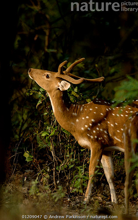 Chital / Spotted deer (Axis axis) an adult male looking upwards. Bandhavgarh National Park, Madhya Pradesh, India.  ,  ANTLERS,ARTIODACTYLA,ASIA,CENTRAL INDIA,CERVIDS,DEER,FOREST,INDIAN SUBCONTINENT,MALES,MAMMALS,NP,PORTRAITS,PROFILE,RESERVE,SPOTS,STANDING,VERTEBRATES,VERTICAL,National Park  ,  Andrew Parkinson
