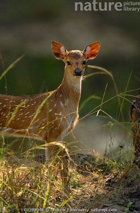 Chital / Spotted deer (Axis axis) an alert fawn standing. Bandhavgarh National Park, Madhya Pradesh, India.  ,  ARTIODACTYLA,ASIA,BABIES,CENTRAL INDIA,CERVIDS,DEER,INDIAN SUBCONTINENT,MAMMALS,NP,RESERVE,SPOTS,STANDING,VERTEBRATES,VERTICAL,National Park  ,  Andrew Parkinson