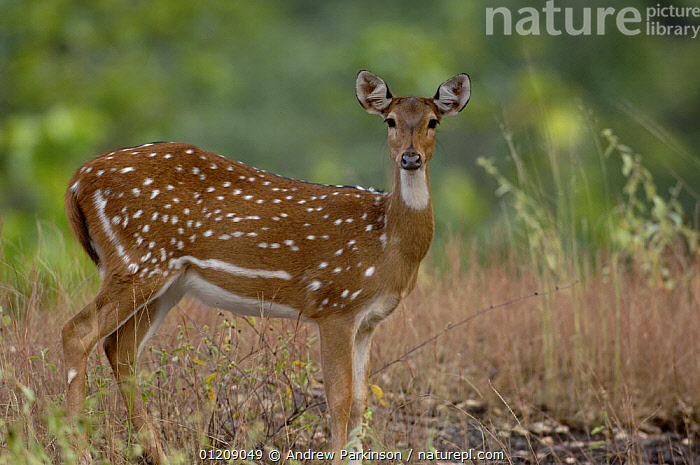Chital / Spotted Deer (Axis axis) profile portrait of an adult female. Bandhavgarh National Park, Madhya Pradesh, India.  ,  ARTIODACTYLA,ASIA,CENTRAL INDIA,CERVIDS,DEER,FEMALES,GRASSLAND,INDIAN SUBCONTINENT,MAMMALS,NP,PORTRAITS,PROFILE,RESERVE,SPOTS,STANDING,VERTEBRATES,National Park  ,  Andrew Parkinson