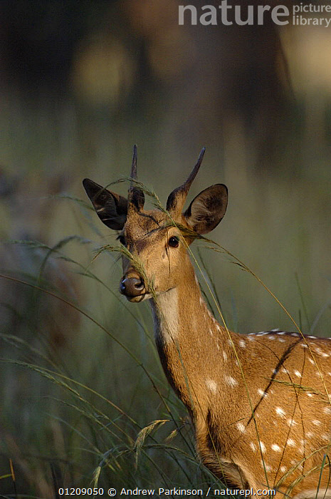 Chital / Spotted deer (Axis axis) portrait of an adolescent male at dawn. Bandhavgarh National Park, Madhya Pradesh, India.  ,  ARTIODACTYLA,ASIA,CENTRAL INDIA,CERVIDS,DEER,INDIAN SUBCONTINENT,JUVENILE,MALES,MAMMALS,NP,PORTRAIT,RESERVE,SPOTS,VERTEBRATES,VERTICAL,National Park  ,  Andrew Parkinson