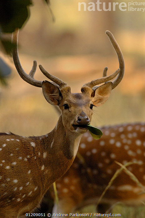 Chital / Spotted deer (Axis axis) an adult male looking up from his browsing. Bandhavgarh National Park, Madhya Pradesh, India.  ,  ANTLERS,ARTIODACTYLA,ASIA,CENTRAL INDIA,CERVIDS,DEER,FEEDING,INDIAN SUBCONTINENT,MALES,MAMMALS,NP,RESERVE,SPOTS,VERTEBRATES,VERTICAL,National Park  ,  Andrew Parkinson