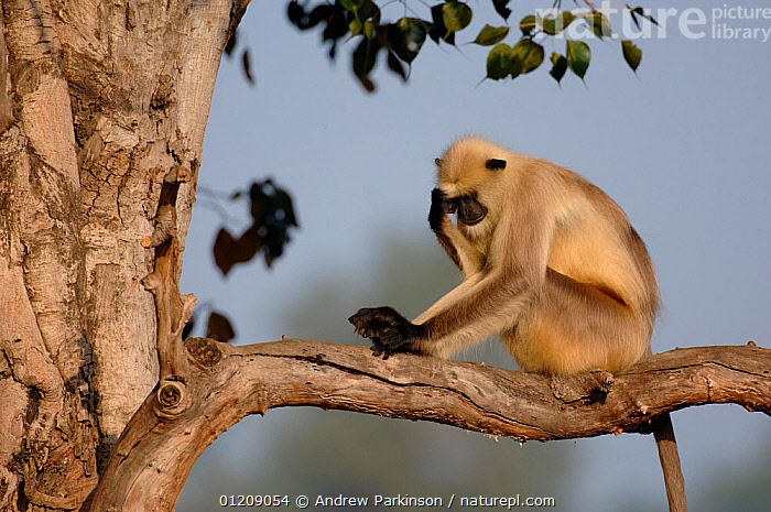 Southern plains grey / Hanuman langur {Semnopithecus dussumieri} an adult male sits in tree with his head resting on his hand. Bandhavgarh National Park, Madhya Pradesh, India.  ,  arboreal,ASIA,Central India,Cercopithecidae,DUSSUMIERS MALABAR LANGUR,DUSSUMIERS SACRED LANGUR,HANUMAN LANGUR,INDIAN SUBCONTINENT,LANGURS,MALES,MAMMALS,NP,PRESBYTIS ENTELLUS,PRIMATES,RESERVE,SITTING,SOUTHERN PLAINS GREY LANGUR,VERTEBRATES,National Park  ,  Andrew Parkinson