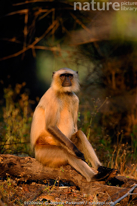 Southern plains grey / Hanuman langur {Semnopithecus dussumieri} an adult sits in a pool of sunlight. Bandhavgarh National Park, Madhya Pradesh, India.  ,  ASIA,Central India,Cercopithecidae,DUSSUMIERS MALABAR LANGUR,DUSSUMIERS SACRED LANGUR,HANUMAN LANGUR,INDIAN SUBCONTINENT,LANGURS,MALES,MAMMALS,NP,PRESBYTIS ENTELLUS,PRIMATES,RESERVE,SITTING,SOUTHERN PLAINS GREY LANGUR,VERTEBRATES,VERTICAL,National Park  ,  Andrew Parkinson