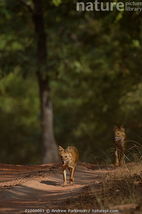 Indian wild dog / Dhole (Cuon alpinus) a pair of adults walking along a forest track. Bandhavgarh National Park, Madhya Pradesh, India.  ,  ASIA,CANIDS,CARNIVORES,CENTRAL INDIA,DOGS,FOREST,INDIAN SUBCONTINENT,MAMMALS,NP,RESERVE,ROADS,TWO,VERTEBRATES,VERTICAL,VULNERABLE,National Park  ,  Andrew Parkinson