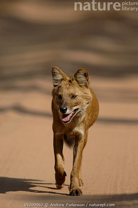 Indian wild dog / Dhole (Cuon alpinus) an adult walking quickly along a forest track. Bandhavgarh National Park, Madhya Pradesh, India.  ,  ASIA,CANIDS,CARNIVORES,CENTRAL INDIA,DOGS,INDIAN SUBCONTINENT,MAMMALS,NP,RESERVE,ROADS,VERTEBRATES,VERTICAL,VULNERABLE,National Park  ,  Andrew Parkinson