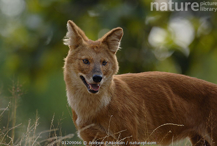 Indian wild dog / Dhole (Cuon alpinus) an adult standing on the top of a grassy bank. Bandhavgarh National Park, Madhya Pradesh, India.  ,  ASIA,CANIDS,CARNIVORES,CENTRAL INDIA,DOGS,INDIAN SUBCONTINENT,MAMMALS,NP,RESERVE,STANDING,VERTEBRATES,VULNERABLE,National Park  ,  Andrew Parkinson