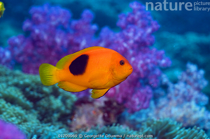 Red saddleback anemonefish (Amphiprion ephippium). Andaman Sea, Thailand.  ,  COLOURFUL,CORAL REEFS,DAMSELFISH,FISH,INDO PACIFIC,MARINE,OSTEICHTHYES,PROFILE,SOUTH EAST ASIA,thailand,TROPICAL,UNDERWATER,VERTEBRATES,Asia,SOUTH-EAST-ASIA  ,  Georgette Douwma