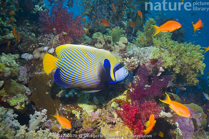 Emperor angelfish (Pomacanthus imperator). Red Sea, Egypt.  ,  COLOURFUL, CORAL-REEFS, FISH, INDO-PACIFIC, MARINE, MIDDLE-EAST, OSTEICHTHYES, PROFILE, RED-SEA, TROPICAL, UNDERWATER, VERTEBRATES  ,  Georgette Douwma