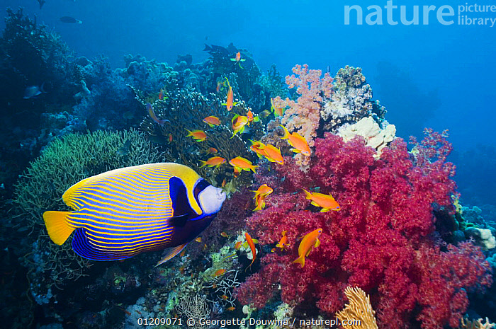 Emperor angelfish (Pomacanthus imperator). Red Sea, Egypt.  ,  COLOURFUL, CORAL-REEFS, FISH, INDO-PACIFIC, MARINE, MIDDLE-EAST, NORTH-AFRICA, OSTEICHTHYES, PROFILE, RED-SEA, TROPICAL, UNDERWATER, VERTEBRATES,Africa  ,  Georgette Douwma