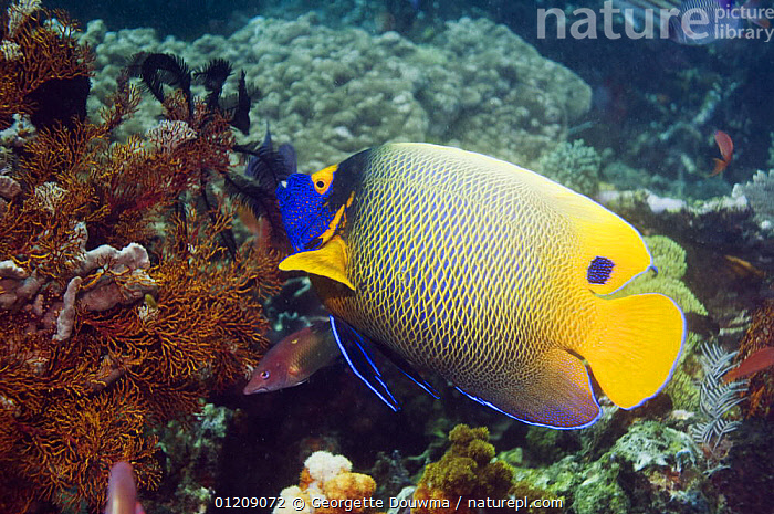 Blue-face angelfish (Pomacanthus xanthometopon). Indonesia, Indo-Pacific.  ,  COLOURFUL, CORAL-REEFS, FISH, INDONESIA, INDO-PACIFIC, MARINE, OSTEICHTHYES, PROFILE, SOUTH-EAST-ASIA, TROPICAL, UNDERWATER, VERTEBRATES,Asia  ,  Georgette Douwma