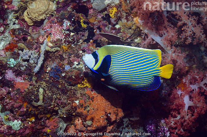 Emperor angelfish (Pomacanthus imperator) swimming past coral wall with invertebrates and soft corals. Rinca, Indonesia.  ,  COLOURFUL, CORAL-REEFS, FISH, INDONESIA, INDO-PACIFIC, INVERTEBRATES, MARINE, MIXED-SPECIES, OSTEICHTHYES, SOUTH-EAST-ASIA, TROPICAL, UNDERWATER, VERTEBRATES,Asia,,NP,Komodo National Park,UNESCO World Heritage Site,  ,  Georgette Douwma