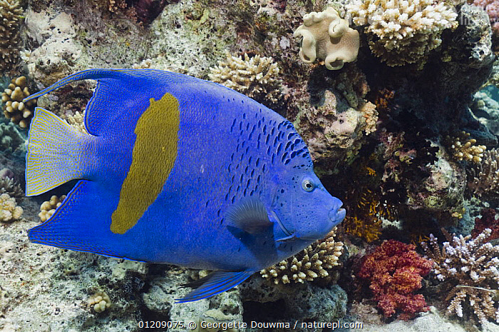 Yellowbar angelfish (Pomacanthus maculosus). Egypt, Red Sea.  ,  COLOURFUL, CORAL-REEFS, FISH, INDO-PACIFIC, MARINE, MIDDLE-EAST, NORTH-AFRICA, OSTEICHTHYES, PORTRAITS, PROFILE, RED-SEA, TROPICAL, UNDERWATER, VERTEBRATES,Africa  ,  Georgette Douwma