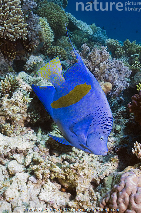 Yellowbar angelfish (Pomacanthus maculosus). Egypt, Red Sea.  ,  COLOURFUL, CORAL-REEFS, FISH, INDO-PACIFIC, MARINE, MIDDLE-EAST, NORTH-AFRICA, OSTEICHTHYES, PROFILE, RED-SEA, TROPICAL, UNDERWATER, VERTEBRATES, VERTICAL,Africa  ,  Georgette Douwma
