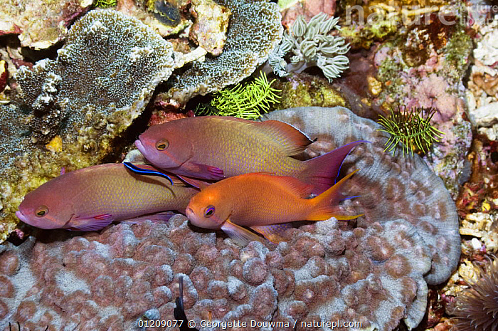 Lyretail anthias (Pseudanthias squamipinnes) two males and one female with juvenile Cleaner wrasse (Labroides dimidiatus) on coral. Rinca, Indonesia.  ,  ANTHIAS,COLOURFUL,CORAL REEFS,FEMALES,FISH,GROUPS,INDONESIA,INDO PACIFIC,JUVENILE,MALES,MARINE,MIXED SPECIES,OSTEICHTHYES,SOUTH EAST ASIA,TROPICAL,UNDERWATER,VERTEBRATES,Asia,SOUTH-EAST-ASIA,,NP,Komodo National Park,UNESCO World Heritage Site,  ,  Georgette Douwma