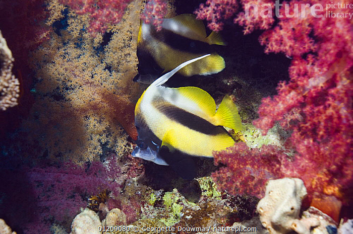 Red Sea bannerfish (Heniochus intermedius) pair with soft corals. Egypt, Red Sea.  ,  BUTTERFLYFISH,COLOURFUL,CORAL REEFS,Egypt,FISH,INDO PACIFIC,MARINE,MIDDLE EAST,NORTH AFRICA,OSTEICHTHYES,RED SEA,TROPICAL,two,UNDERWATER,VERTEBRATES,Africa,NORTH-AFRICA  ,  Georgette Douwma