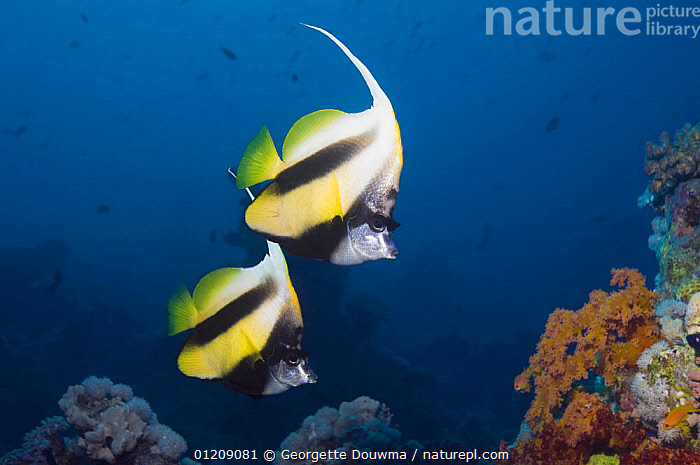 Red Sea bannerfish (Heniochus intermedius) pair. Egypt, Red Sea.  ,  BUTTERFLYFISH,COLOURFUL,CORAL REEFS,Egypt,FISH,INDO PACIFIC,MARINE,MIDDLE EAST,NORTH AFRICA,OSTEICHTHYES,RED SEA,TROPICAL,two,UNDERWATER,VERTEBRATES,Africa,NORTH-AFRICA  ,  Georgette Douwma