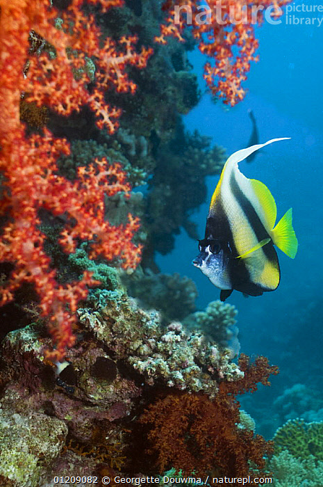 Red Sea bannerfish (Heniochus intermedius) with soft corals. Egypt, Red Sea.  ,  BUTTERFLYFISH,COLOURFUL,CORAL REEFS,FISH,INDO PACIFIC,MARINE,MIDDLE EAST,NORTH AFRICA,OSTEICHTHYES,TROPICAL,UNDERWATER,VERTEBRATES,VERTICAL,Africa  ,  Georgette Douwma