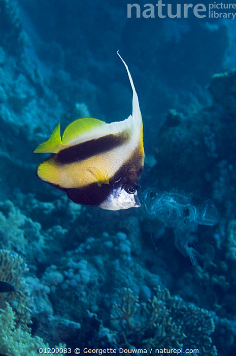 Red Sea bannerfish (Heniochus intermedius) feeding on a ctenophore (Plankton). Egypt, Red Sea.  ,  BUTTERFLYFISH,COLOURFUL,CORAL REEFS,FEEDING,FISH,INDO PACIFIC,MARINE,MIDDLE EAST,NORTH AFRICA,OSTEICHTHYES,PLANKTON,RED SEA,TROPICAL,UNDERWATER,VERTEBRATES,VERTICAL,Africa  ,  Georgette Douwma