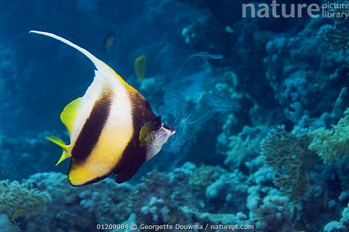 Red Sea bannerfish (Heniochus intermedius) feeding on a ctenophore (Plankton). Egypt, Red Sea.  ,  BUTTERFLYFISH,COLOURFUL,CORAL REEFS,FEEDING,FISH,INDO PACIFIC,MARINE,MIDDLE EAST,NORTH AFRICA,OSTEICHTHYES,PLANKTON,RED SEA,TROPICAL,UNDERWATER,VERTEBRATES,Africa  ,  Georgette Douwma