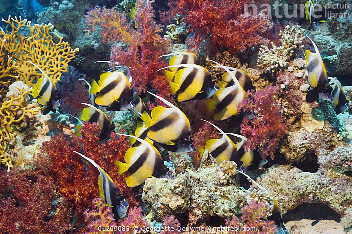 Red Sea bannerfish (Heniochus intermedius) school with soft corals. Egypt, Red Sea.  ,  BUTTERFLYFISH,COLOURFUL,CORAL REEFS,FISH,GROUPS,INDO PACIFIC,MARINE,MIDDLE EAST,NORTH AFRICA,OSTEICHTHYES,RED SEA,TROPICAL,UNDERWATER,VERTEBRATES,Africa  ,  Georgette Douwma