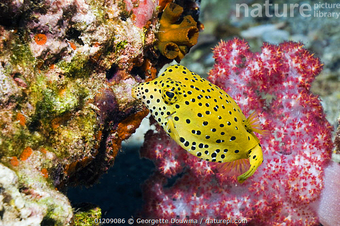 Yellow boxfish / cube trunkfish (Ostracion cubicus). Andaman Sea, Thailand.  ,  boxfish,COLOURFUL,CORAL REEFS,FISH,INDO PACIFIC,MARINE,OSTEICHTHYES,SOUTH EAST ASIA,thailand,TROPICAL,TRUNKFISH,UNDERWATER,VERTEBRATES,Asia,SOUTH-EAST-ASIA  ,  Georgette Douwma