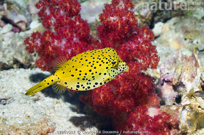 Cube trunkfish / yellow boxfish (Ostracion cubicus). Andaman Sea, Thailand.  ,  boxfish,COLOURFUL,CORAL REEFS,FISH,INDO PACIFIC,MARINE,OSTEICHTHYES,SOUTH EAST ASIA,thailand,TROPICAL,TRUNKFISH,UNDERWATER,VERTEBRATES,Asia,SOUTH-EAST-ASIA  ,  Georgette Douwma