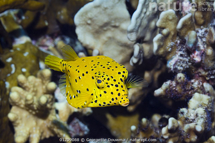 Cube trunkfish / yellow boxfish (Ostracion cubicus) with Blue coral. Andaman Sea, Thailand.  ,  boxfish,COLOURFUL,CORAL REEFS,FISH,INDO PACIFIC,MARINE,OSTEICHTHYES,SOUTH EAST ASIA,thailand,TROPICAL,TRUNKFISH,UNDERWATER,VERTEBRATES,Asia,SOUTH-EAST-ASIA  ,  Georgette Douwma