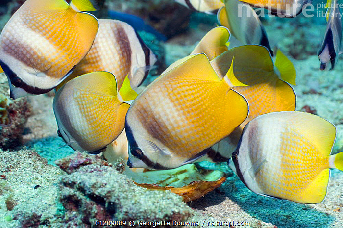 Klein's Butterflyfish (Chaetodon kleinii). Lembeh Strait, North Sulawesi, Indonesia.  ,  BUTTERFLYFISH,COLOURFUL,CORAL REEFS,FISH,GROUPS,INDONESIA,INDO PACIFIC,MARINE,OSTEICHTHYES,SOUTH EAST ASIA,TROPICAL,UNDERWATER,VERTEBRATES,Asia,SOUTH-EAST-ASIA  ,  Georgette Douwma