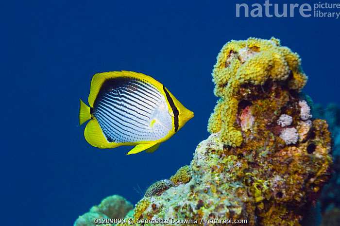 Black-backed butterflyfish (Chaetodon melannotus). Red Sea, Egypt.  ,  BUTTERFLYFISH,COLOURFUL,CORAL REEFS,FISH,INDO PACIFIC,MARINE,MIDDLE EAST,NORTH AFRICA,OSTEICHTHYES,PORTRAITS,PROFILE,TROPICAL,UNDERWATER,VERTEBRATES,Africa  ,  Georgette Douwma