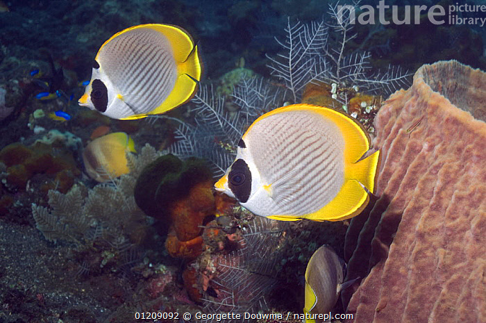 Panda butterflyfish (Chaetodon adiergastos). Bali, Indonesia.  ,  BUTTERFLYFISH,COLOURFUL,CORAL REEFS,FISH,INDONESIA,INDO PACIFIC,MARINE,OSTEICHTHYES,SOUTH EAST ASIA,TROPICAL,two,UNDERWATER,VERTEBRATES,Asia,SOUTH-EAST-ASIA  ,  Georgette Douwma