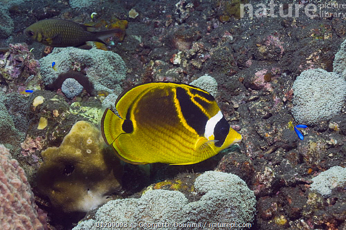 Raccoon butterflyfish (Chaetodon lunula). Bali, Indonesia.  ,  BUTTERFLYFISH,COLOURFUL,CORAL REEFS,FISH,INDONESIA,INDO PACIFIC,MARINE,OSTEICHTHYES,PROFILE,SOUTH EAST ASIA,TROPICAL,UNDERWATER,VERTEBRATES,Asia,SOUTH-EAST-ASIA  ,  Georgette Douwma