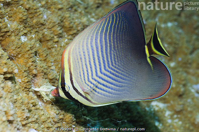 Eastern triangle butterflyfish (Chaetodon baronessa) feeding. Andaman Sea, Thailand.  ,  BUTTERFLYFISH,COLOURFUL,CORAL REEFS,FEEDING,FISH,INDO PACIFIC,MARINE,OSTEICHTHYES,PROFILE,SOUTH EAST ASIA,thailand,TROPICAL,UNDERWATER,VERTEBRATES,Asia,SOUTH-EAST-ASIA  ,  Georgette Douwma