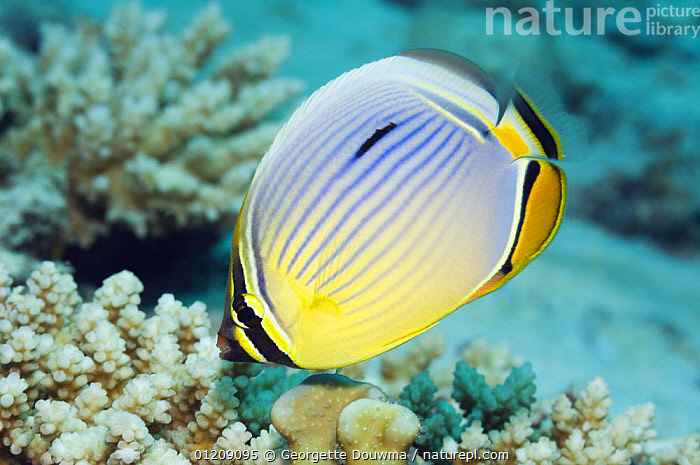 Pinstriped / redfin butterflyfish (Chaetodon trifasciatus). Andaman Sea, Thailand.  ,  BUTTERFLYFISH,COLOURFUL,CORAL REEFS,FISH,INDO PACIFIC,MARINE,OSTEICHTHYES,PROFILE,REDFIN BUTTERFLYFISH,SOUTH EAST ASIA,thailand,TROPICAL,UNDERWATER,VERTEBRATES,Asia,SOUTH-EAST-ASIA  ,  Georgette Douwma