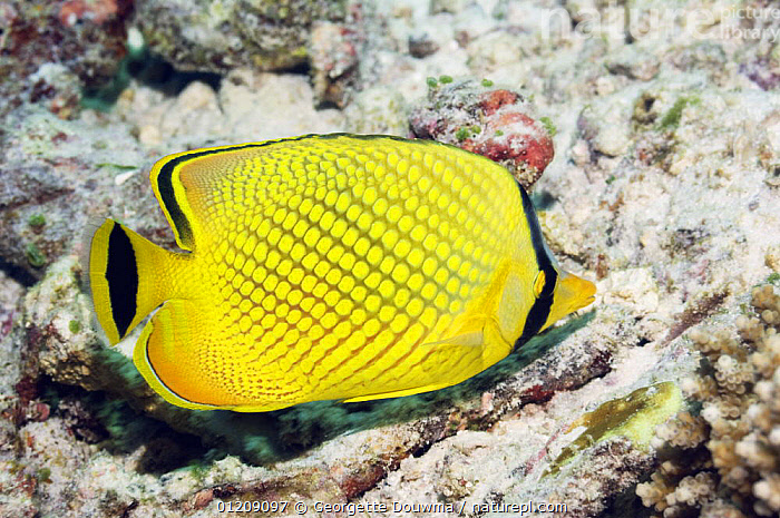 Latticed butterflyfish (Chaetodon rafflesi). Andaman Sea, Thailand.  ,  BUTTERFLYFISH,COLOURFUL,CORAL REEFS,FISH,INDO PACIFIC,MARINE,OSTEICHTHYES,PROFILE,SOUTH EAST ASIA,thailand,TROPICAL,UNDERWATER,VERTEBRATES,YELLOW,Asia,SOUTH-EAST-ASIA  ,  Georgette Douwma