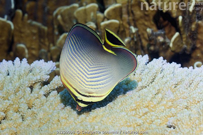 Eastern triangle butterflyfish (Chaetodon baronessa). Andaman Sea, Thailand.  ,  BUTTERFLYFISH,COLOURFUL,CORAL REEFS,FEEDING,FISH,INDO PACIFIC,MARINE,OSTEICHTHYES,PROFILE,SOUTH EAST ASIA,thailand,TROPICAL,UNDERWATER,VERTEBRATES,Asia,SOUTH-EAST-ASIA  ,  Georgette Douwma
