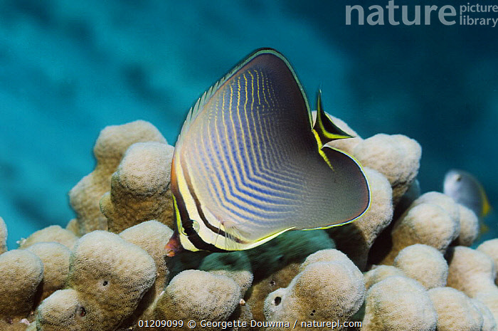 Eastern triangle butterflyfish (Chaetodon baronessa). Andaman Sea, Thailand.  ,  BUTTERFLYFISH,CORAL REEFS,FEEDING,FISH,INDO PACIFIC,MARINE,OSTEICHTHYES,PROFILE,SOUTH EAST ASIA,thailand,TROPICAL,UNDERWATER,VERTEBRATES,Asia,SOUTH-EAST-ASIA  ,  Georgette Douwma