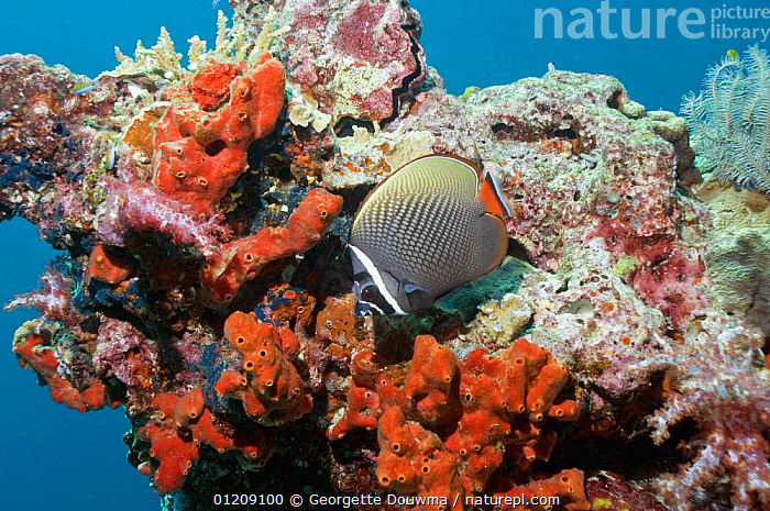 Collared / redtail butterflyfish (Chaetodon collare). Andaman Sea, Thailand.  ,  BUTTERFLYFISH,COLOURFUL,CORAL REEFS,FISH,INDO PACIFIC,MARINE,OSTEICHTHYES,SOUTH EAST ASIA,thailand,TROPICAL,UNDERWATER,VERTEBRATES,Asia,SOUTH-EAST-ASIA  ,  Georgette Douwma