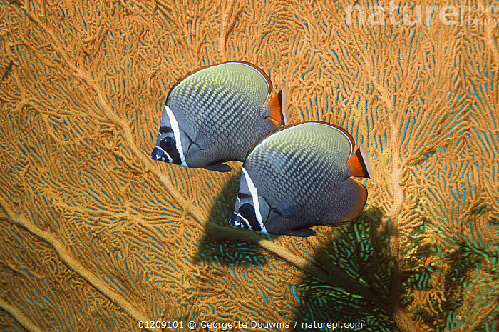 Pair of Collared / redtail butterflyfish (Chaetodon collare) against seafan coral. Andaman Sea, Thailand.  ,  BUTTERFLYFISH,COLOURFUL,CORAL REEFS,FISH,INDO PACIFIC,MARINE,OSTEICHTHYES,PROFILE,SEA FANS,TROPICAL,two,UNDERWATER,VERTEBRATES  ,  Georgette Douwma