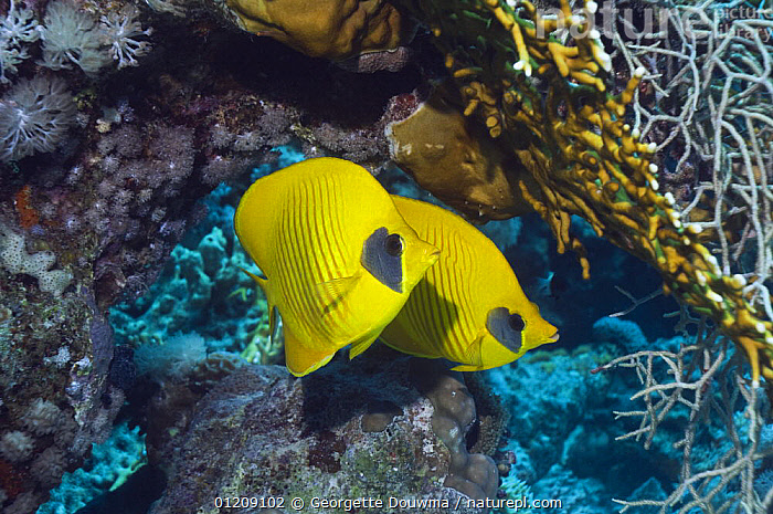 Golden butterflyfish (Chaetodon semilarvatus) pair. Egytpt, Red Sea.  ,  BUTTERFLYFISH,COLOURFUL,CORAL REEFS,FISH,INDO PACIFIC,MARINE,MIDDLE EAST,NORTH AFRICA,OSTEICHTHYES,RED SEA,TROPICAL,two,UNDERWATER,VERTEBRATES,YELLOW,Africa  ,  Georgette Douwma