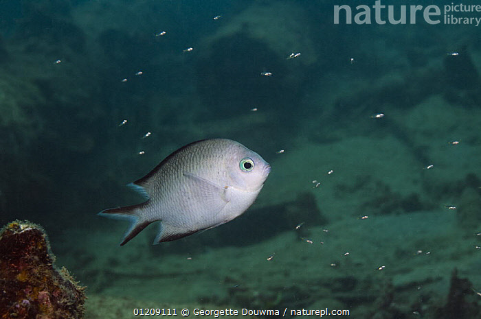Spiny chromis (Acanthochromis polyacanthus), Papua New Guinea.  ,  DAMSELFISH,FISH,INDO PACIFIC,MARINE,OSTEICHTHYES,PROFILE,SOUTH EAST ASIA,TROPICAL,UNDERWATER,VERTEBRATES,Asia  ,  Georgette Douwma